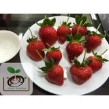 香水草莓苗預接~需提早預定