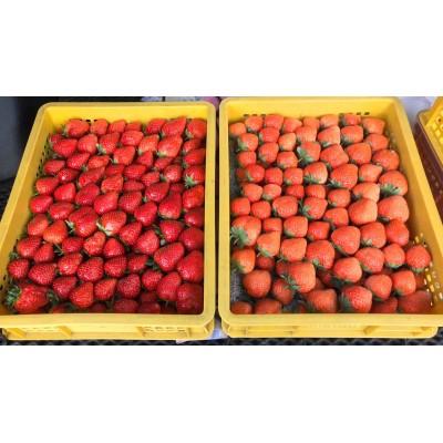 草莓強迫栽培的基本技術
